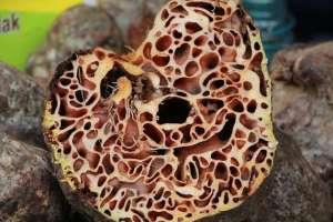 Sarang Semut Asli Papua